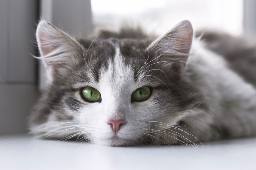 beautiful green eyed cat
