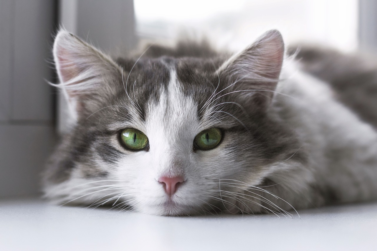 beautiful green eyed cat