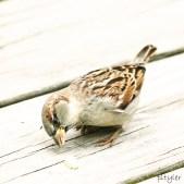 Sparrow7