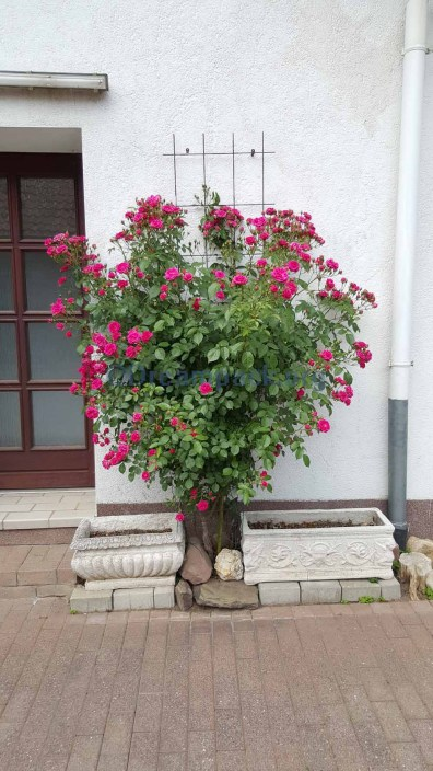 The rose-tree at our courtyard