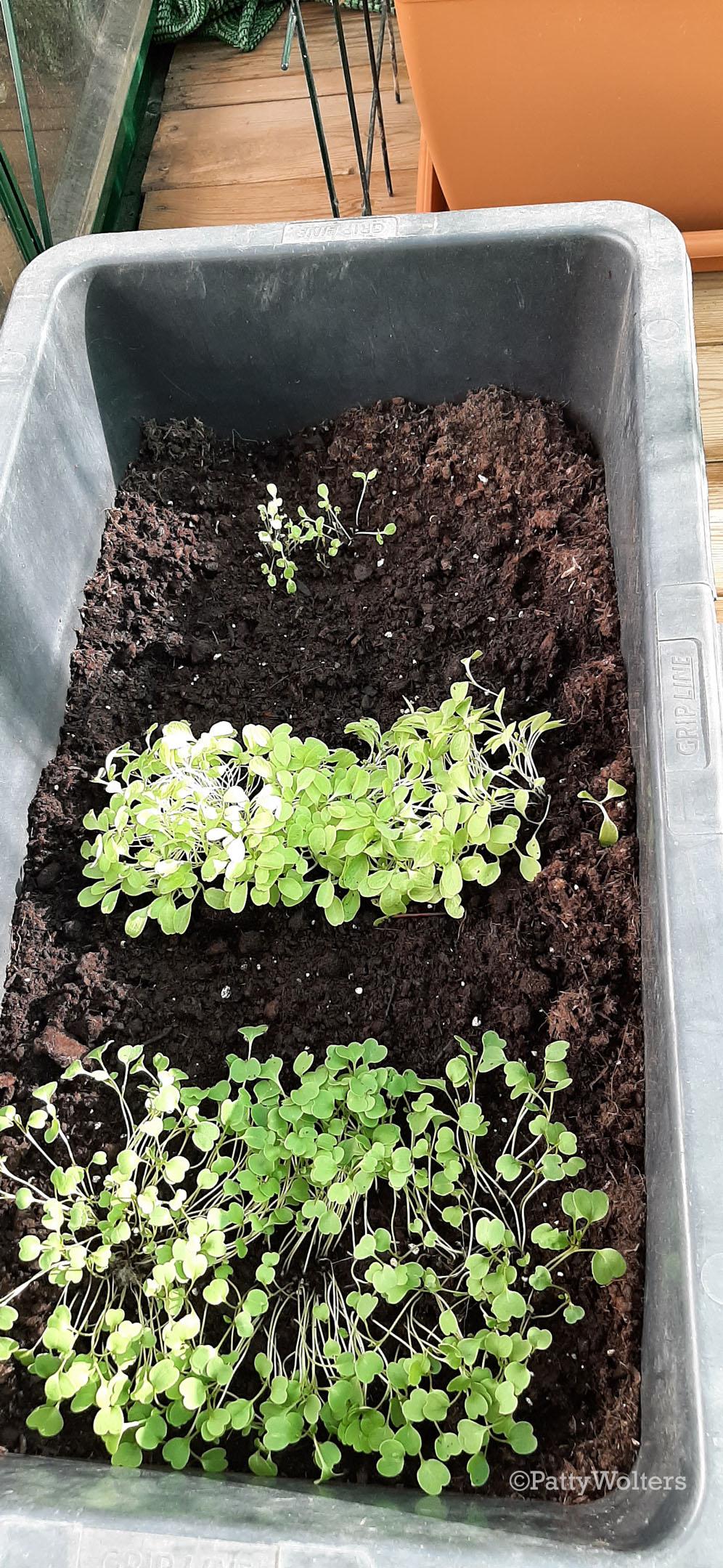 Lettuce variations 2021