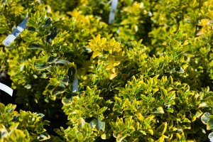 Types Of Shrubs For Sale In Bowie Md Patuxent Nursery