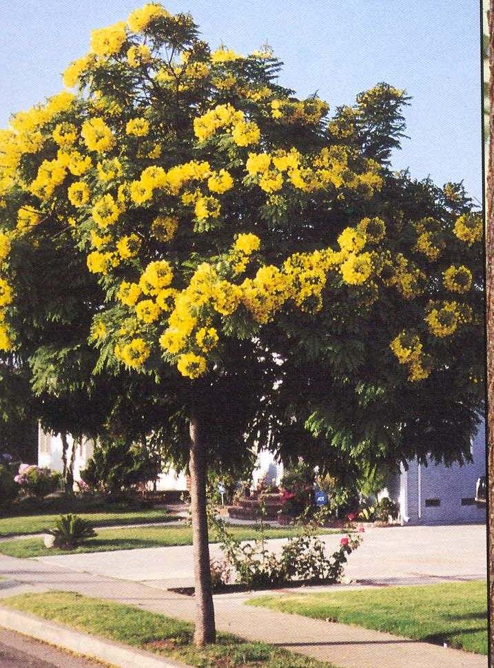 Cassia Leptophylla gold medallion tree  Pat Welsh Organic and Southern California Gardening