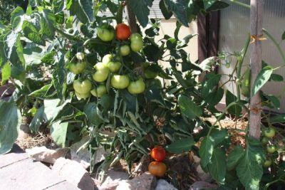 Tomaten am Stock