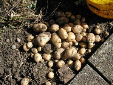 Kartoffelausbeute