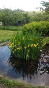 Osterglocken im Teich