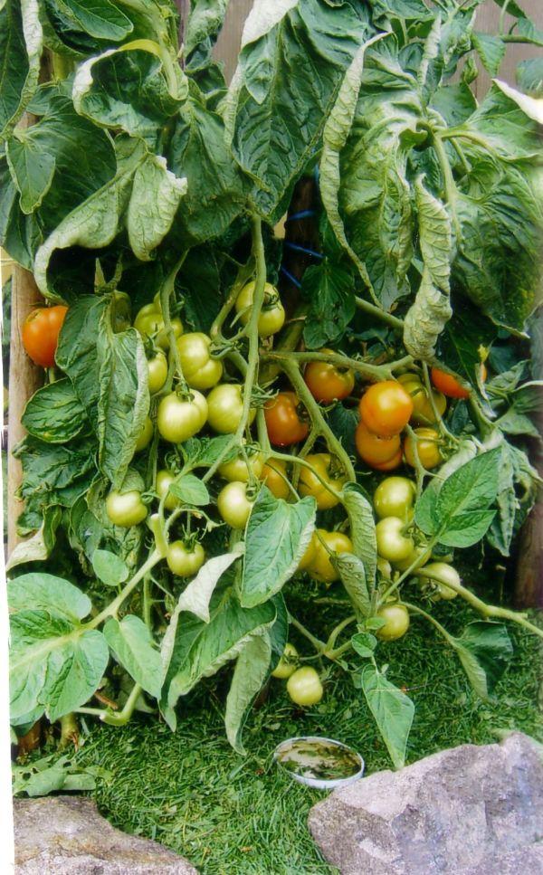 paula-flum-tomaten-mulch