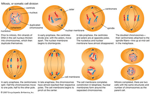 simple diagram of meiosis caravan wiring 13 pin centrioles - paula deen cell project