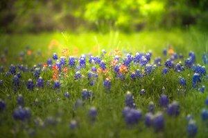 paula mason photography bluebonnets