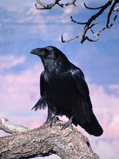 Common Raven Photo Credit: ConspiracyofHappiness via Compfight cc