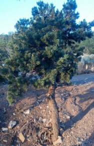 Pinyon Tree 1901-2014 Photo Credit: P. Nixon