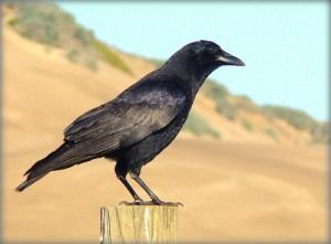 American Crow Photo Credit: goingslo via Compfight cc