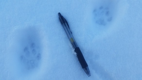 Bobcat Tracks. Photo by: Paula Nixon