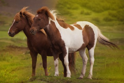 South Icelandic Horses Photography