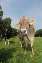 Allgäuer Kuh © Maren Kuiter