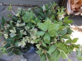 a half dozen Lenten Roses, quite fitting for Palm Sunday