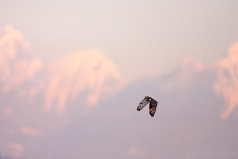 Short-eared Owls often fly past mountains on the way to open, treeless landscapes where they nest and winter.