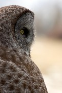 Great Gray Owls posess distinctive facial disks that allow them to precisely locate their prey using hearing alone.
