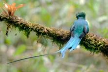 A Resplendant Quetzal under the canopy in a Central American forest.
