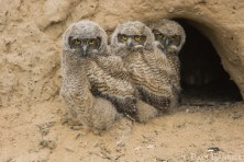 Three young Great Horned Owls emerge from their cliffside-nest.