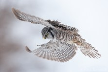 A Northern Hawk Owl hovers over potential prey.