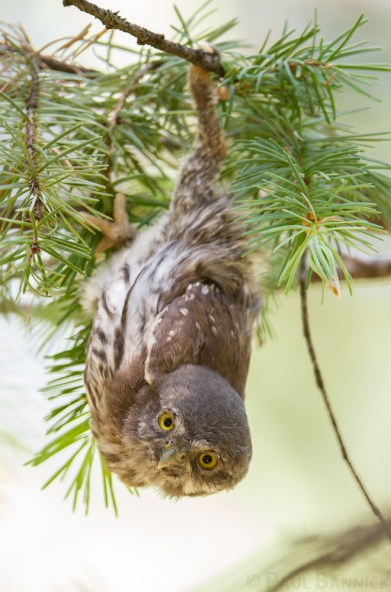 A Northern Pygmy Owl fledgling hangs from a Douglas Fir branch that has tipped from his weight.