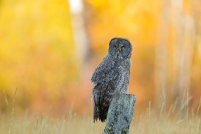 A juvenile Great Gray Owl hunts voles from a fence-post in a mountain meadow.
