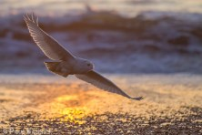 Snowy Owls are mostly nocturnal during the winter and frequently hunt unsuspecting seabirds.