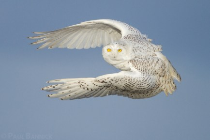 A Snowy Owl lifts her body nearly straight up off driftwood and into the air after spotting prey in the distance. Snowy Owls use strong wingbeats to hunt even in the most powerful winds.