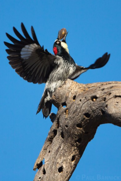 An Acorn Woodpecker prepares to take flight and take an acorn to its granary.