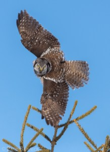 Northern Hawk Owls often hunt from the top of spruce trees, where their keen eyesight allows them to spot prey the size of a mouse from over a half-mile away.