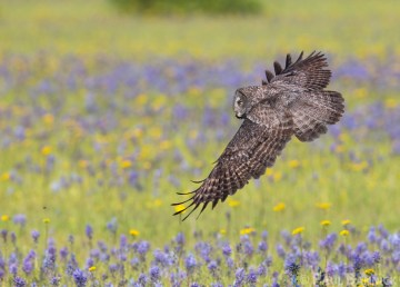 A Great Gray Owl flies low over a mountain meadow in the Candian Rockies where it is hunting gophers and voles.