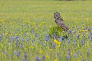 A Great Gray Owl perches on a Lodgpole Pine sapling alone in the middle of a meadow of Camas and Groundsel.