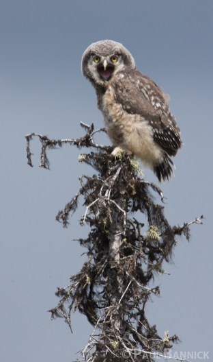 Fledgling Owls, like this six week old Northern Hawk Owl are constantly begging for food.
