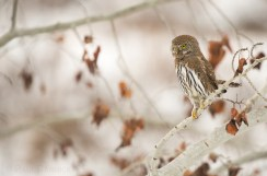 A Northern Pygmy-Owl hunts from the limb of an aspen.