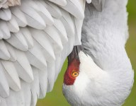 A Sandhill Crane lowers her head to preen the feathers on her breast.
