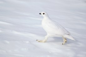A White-tailed Ptarmigan, Lagopus leucura, runs across the snow without sinking, thanks to large feathered feet.