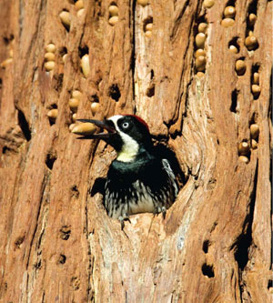 woodpecker sample image