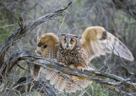 A female Long-eared Owl waves its wings and screams to attract the attention of potential predators and lead them away from the nest or young.