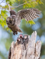 A female Northern Hawk Owl flies from the nest after delivery prey to her 2 week-old nestlings. At this time they are insatiable and continue to beg immediately after being fed.