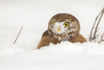 A Northern Pygmy-Owl looks up after digging up its cache of quail hidden by deep snow.