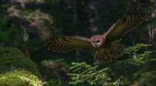 A Northern Spotted Owl glides through the sun dappled understory of an old growth forest.