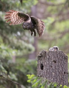 A female Great Gray Owl leaves the nest while the nestlings watch. One nestling has a vole in her bill.