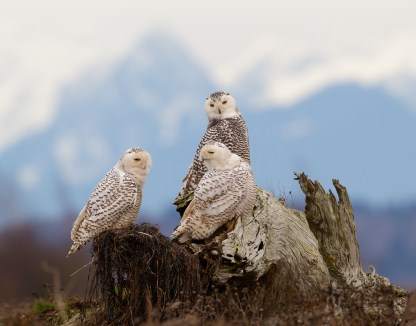 Three Snowy Owls engage with one another with the Cascade Mountains looming in the background.
