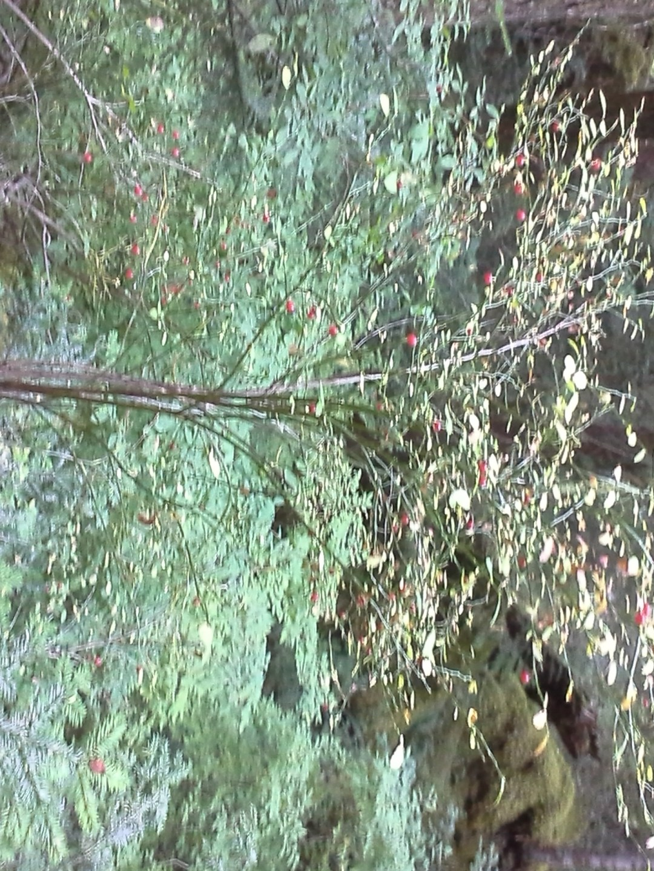 A perfect huckleberry bush