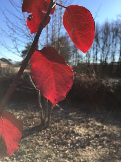 Red Bradford Pear Leaves