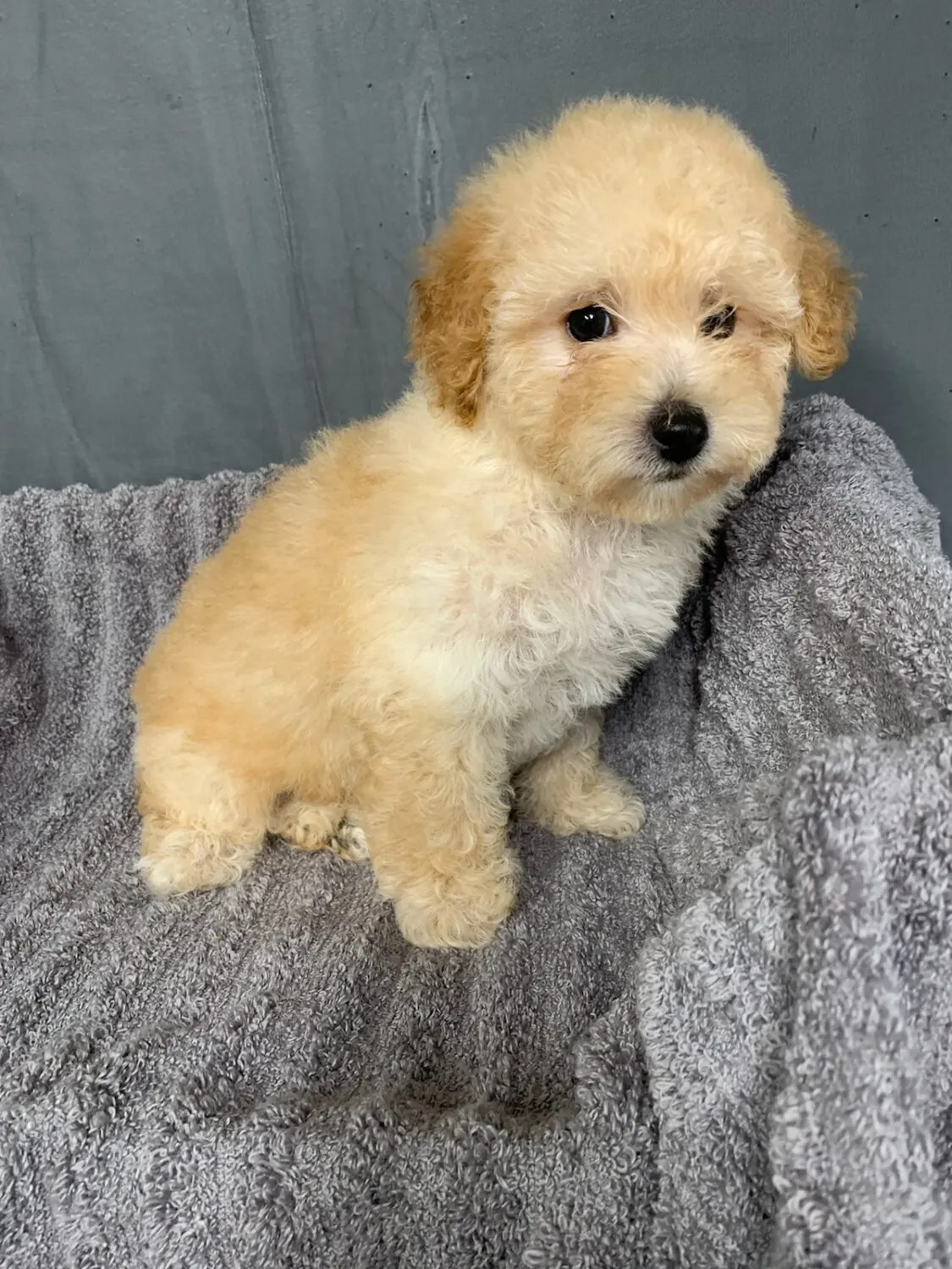 Poodle (Toy) Puppy for Sale near Virginia, RICHMOND, USA