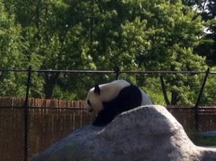 Giant Panda Er Shun