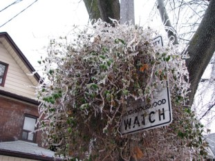 Ice Storm 2013: Climing plant