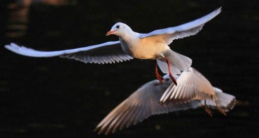 seagulls flying at night
